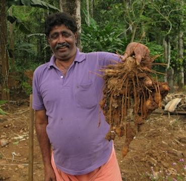 Farmer harvesting turmeric